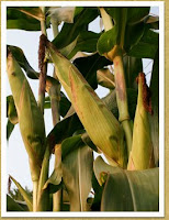Corn. Before it is made into Hominy.