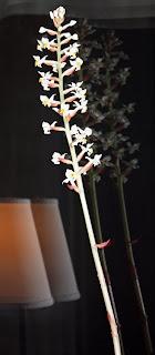orkidé Ludisia