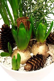 julgrupp tazett, hyacint, rosmarin