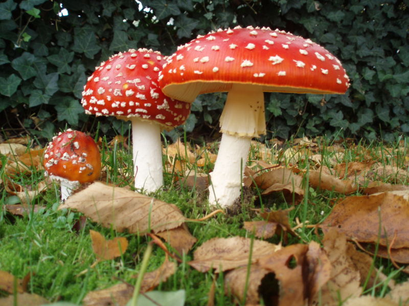 Amanita Mushrooms Identification http://alternativehighs.blogspot.com/2011/01/fly-agaric-mushrooms-amanita-muscaria.html