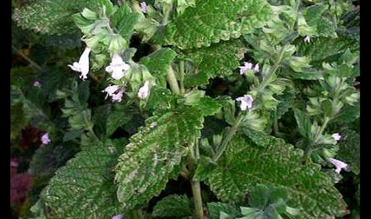 Productos de aromaterapia esencia de melisa - Planta de melisa ...