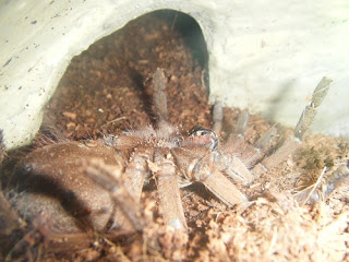 Theraphosa blondi (Goliath Birdeater) molting