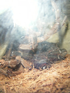 Theraphosa blondi Molt Photo
