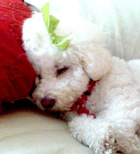 Lula Matilda is an adorable Bichon frise -poodle mix