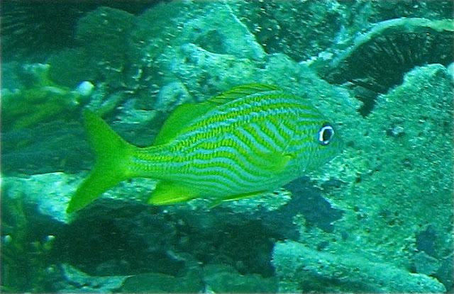 Marine life of puerto rico fish species for Saltwater fish representative species
