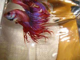 crowntail betta splenden