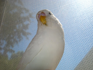 Angel the parakeet