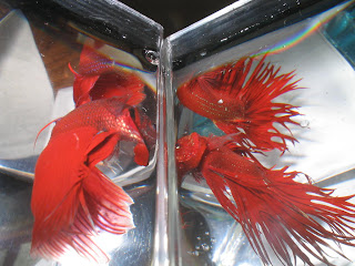 two bettas flaring