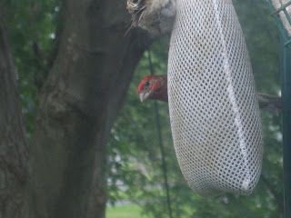 male house finch outside my window