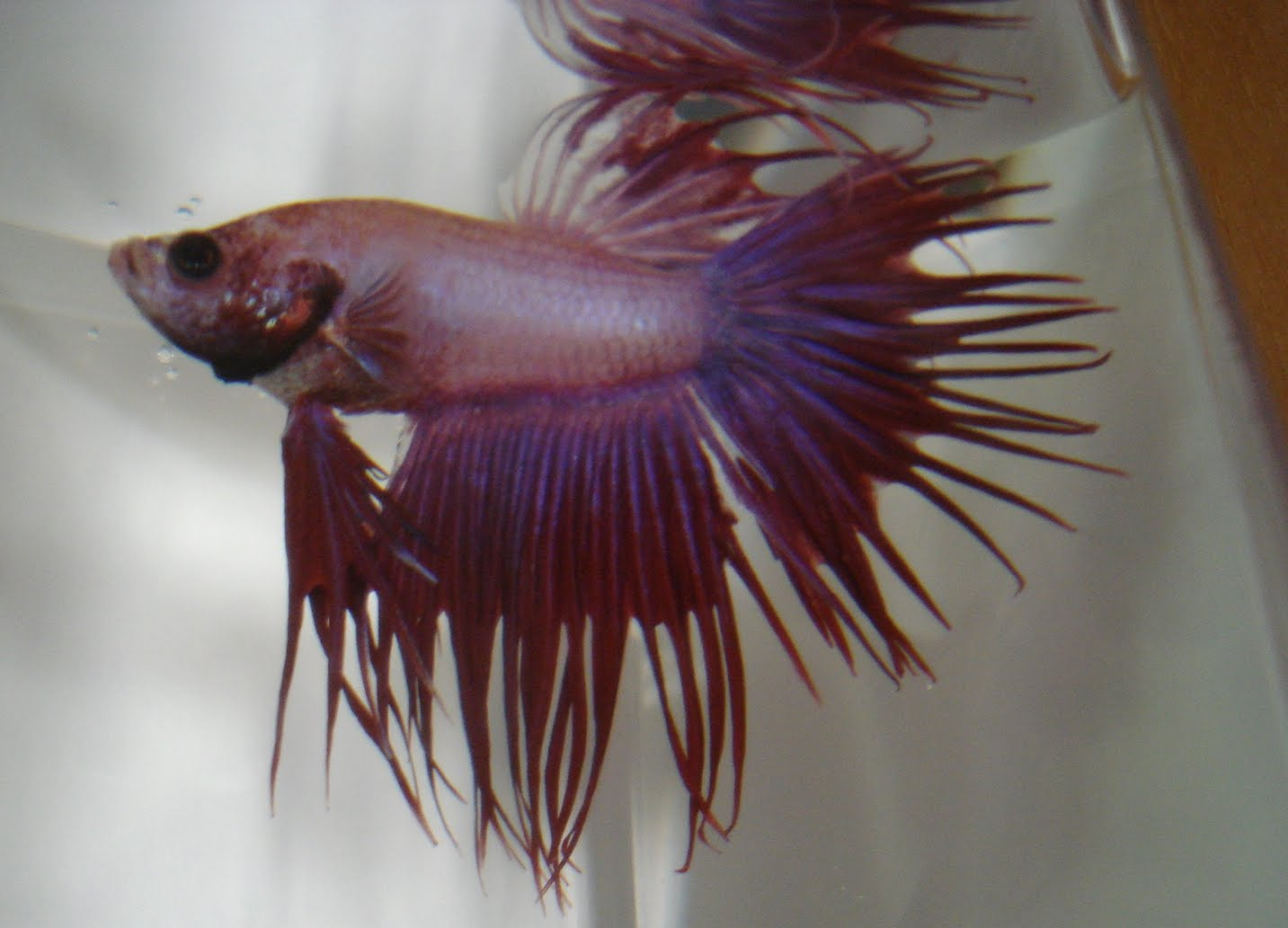 Bettas january 2011 for Crowntail betta fish
