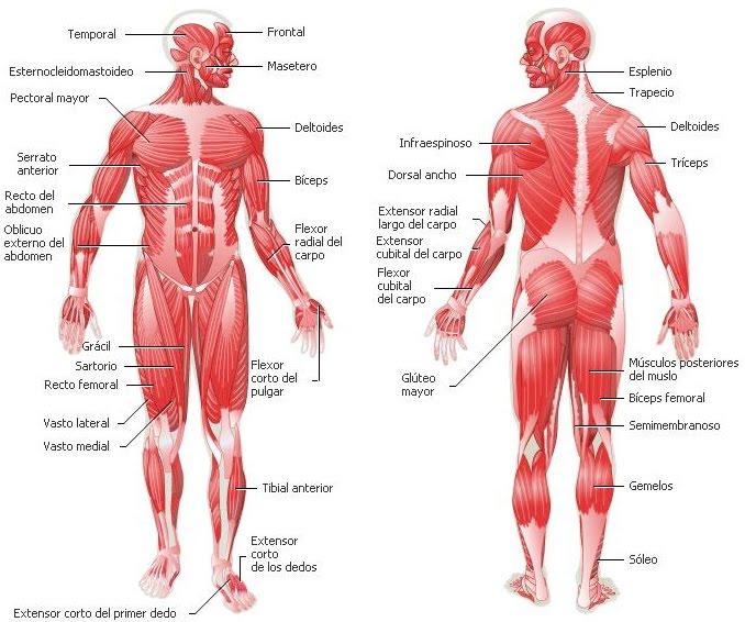 Sistema muscular   DIARIO DE UN FISICOCULTURISTA