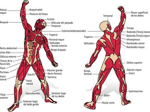 Principales músculos del cuerpo humano | DIARIO DE UN FISICOCULTURISTA