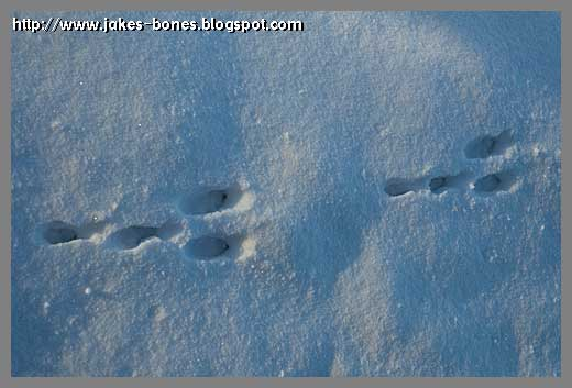 Picture of Rabbit Footprint http://www.jakes-bones.com/2011/01/tracking-animals-in-snow.html