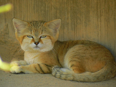 A sand cat in the Al Wabra preserve