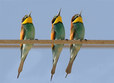 Three European Bee-Eaters stare up at the sky in perfect sequence.