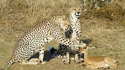 Unbelievable but Real, Cheetahs Friend With Littile Impala