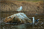 Seagulls at Oliver Mills Park