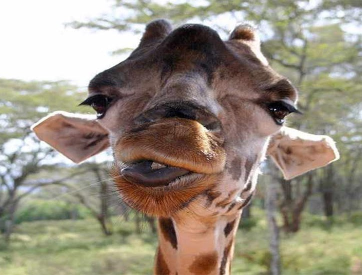 Hayada en Jaén una jirafa con problemas hormonales