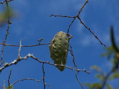 Fruto en el Cerro Viejo a 1770 msnm