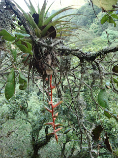 bromelia en el Cerro Viejo