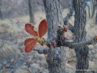 quercus floreciendo