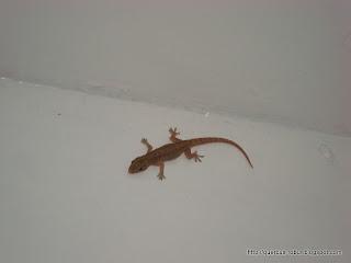 gecko besucona