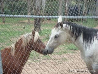 El caballo blanco y el potrillo