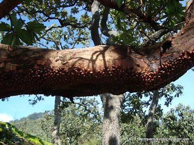 Catarinas como plaga en los árboles a alturas mayores de 1900 msnm