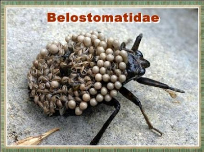 Belostomatidae