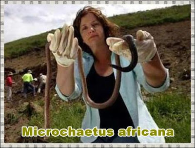 Microchaetus africana