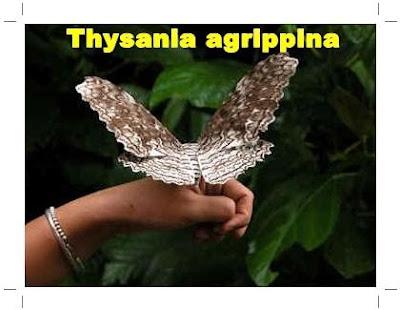 Thysania agrippina