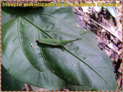 insecto mimetizado del shilcayo