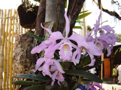 catleya maxima, orquidea
