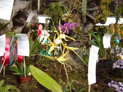 brassia caudala, orquidea