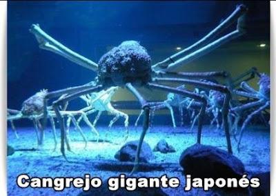 cangrejo gigante japones