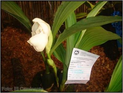 anguloa eburnea en el xiv festival de la orquidea 2009 (moyobamba, peru)