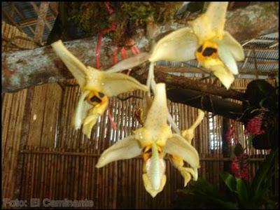 flores en el xiv festival de la orquidea 2009 (moyobamba)