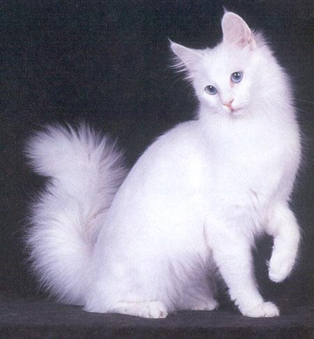 ... yang paling terkenal adalah jenis kucing anggora da