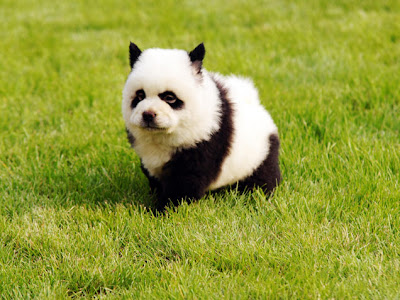 am utterly dreaming of one day owning a panda chow chow