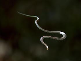 flying snakes studied 29256 600x450 10 Jenis Ular Paling Eksotik Di Dunia
