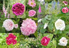 erste Rosen im Juni