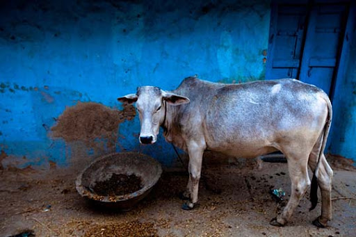 cow The Incredible India: 90 Spectacular Photos