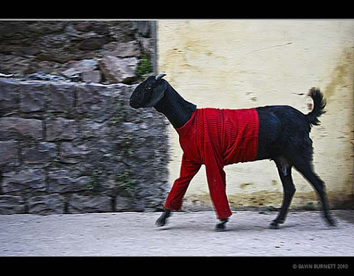 goat+in+a+jumper,+bundi,+india The Incredible India: 90 Spectacular Photos
