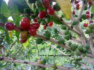 Coffee seeds, they are green and red