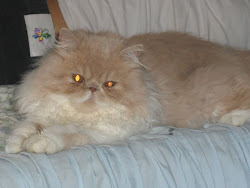 Nash,,, our pedigree Cats ....