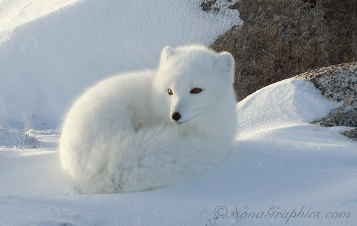Arctic foxes usually make