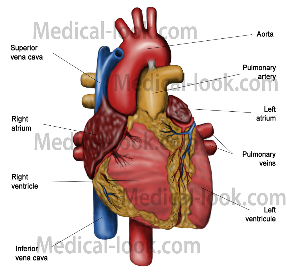 Car parts diagram chart car free engine image for user for Exterior of heart diagram