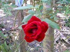 Una rosa roja es simbolo de amor