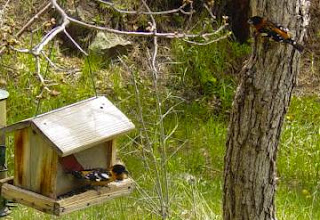 Black-headed grosbeaks at feeder.