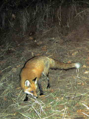 Red fox, April 13, 2008. Photo by Chas S. Clifton